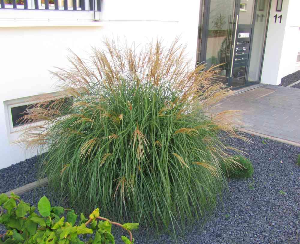 Gräser Pflanzen miscanthus purpurascens adagio chinaschilf gräser pflanzen