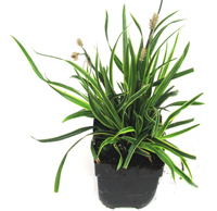 "Carex morrowii ""Ice Dance""  -  Segge"