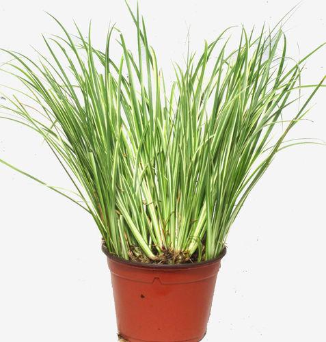Winterhartes Ziergras gräser pflanzen versand für die besten winterharten balkonpflanzen