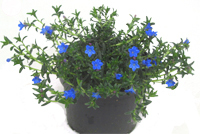 Lithodora Diffusa   -  Steinsame
