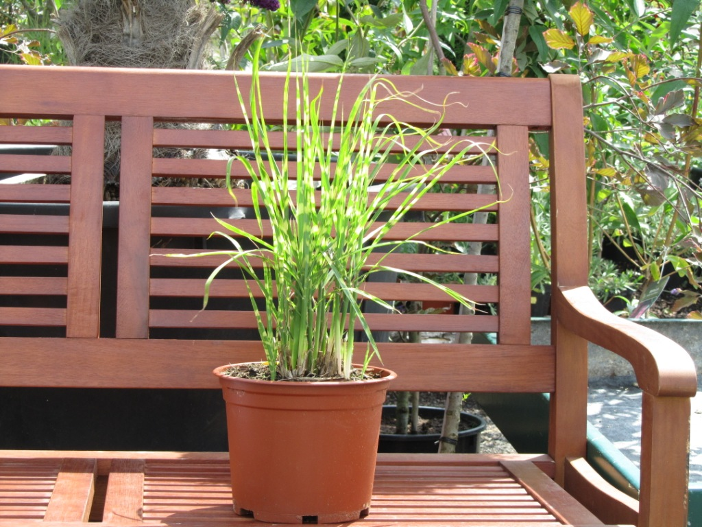 Zimmerpflanzen Gräser miscanthus sinensis quot strictus quot zebraschilf gräser pflanzen versand für die besten