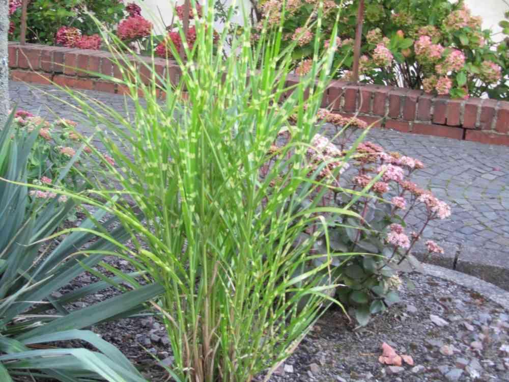 Gräser Pflanzen miscanthus sinensis strictus zebraschilf gräser pflanzen
