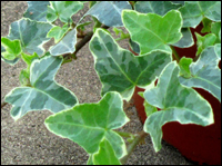 hedera helix  'William Kennedy'  Efeu