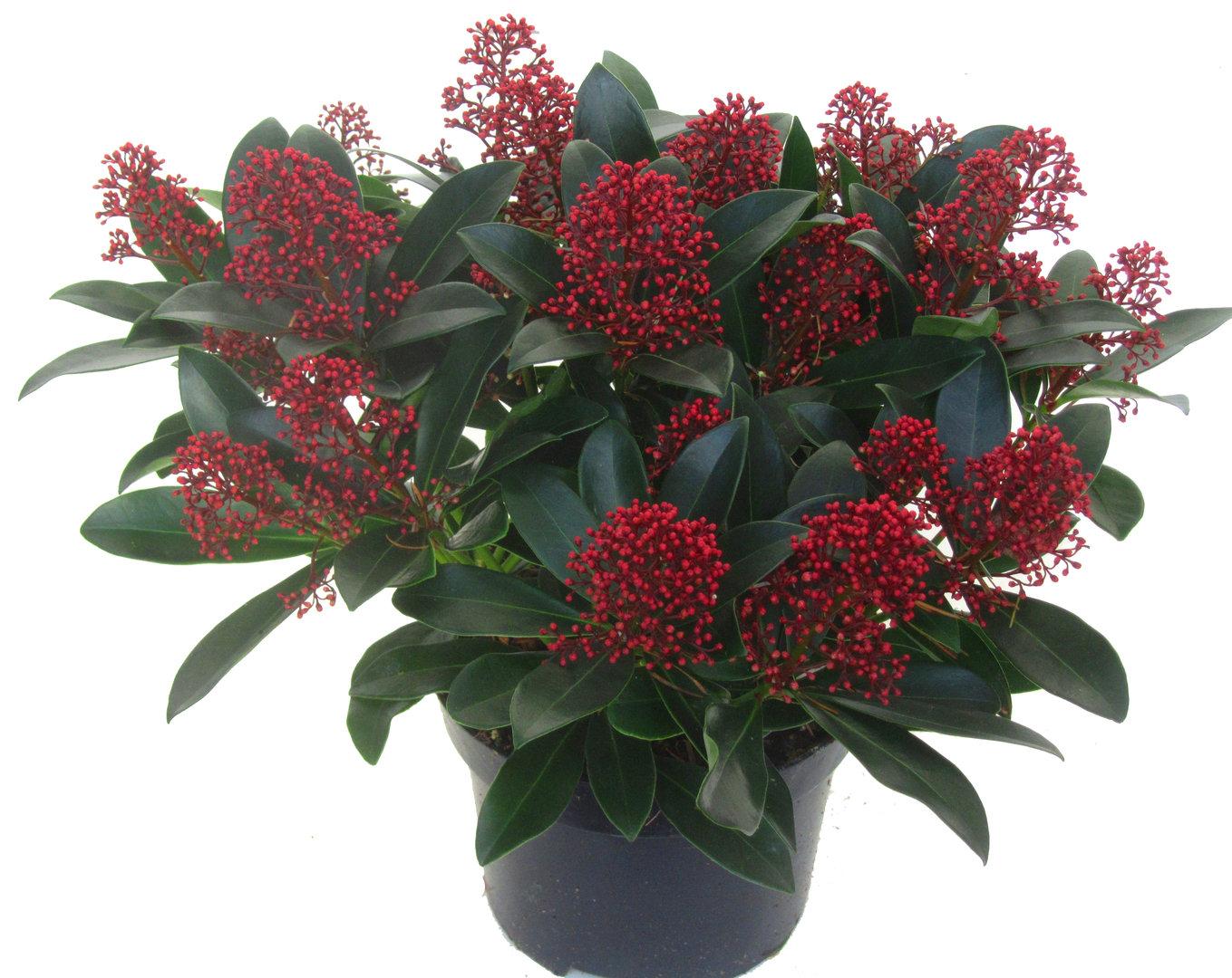 Skimmia japonica marlot japanische bl tenskimmie 17 cm for Zimmerpflanzen versand