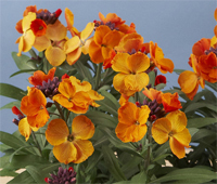 Erysium RYSI »Bronze«  Goldlack orange