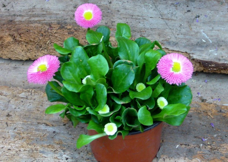 Bellis Perennis Ganseblumchen Pink Fruhbluher Pflanzen Versand