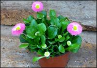 Balkonpflanzen Fruhling Pflanzvorschlage Pflanzen Kaufen Online
