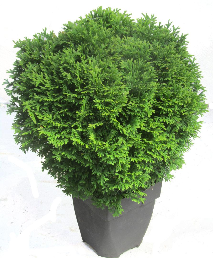 thuja occidentalis tini tim zwerg lebensbaum pflanzen versand f r die besten winterharten. Black Bedroom Furniture Sets. Home Design Ideas