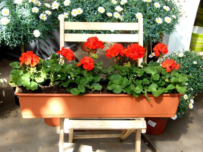 Bepflanzter Balkonkasten Mit Stehenden Geranien Einfarbig Pflanzen