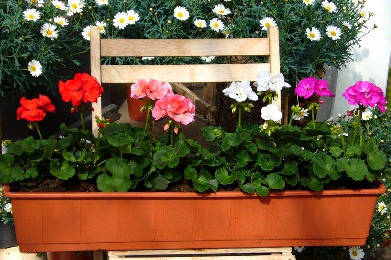 Bepflanzter Balkonkasten Mit Stehenden Geranien Farb Mix Pflanzen