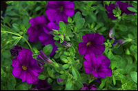 Calibrachoa Million Bells - Zauberglöckchen violett