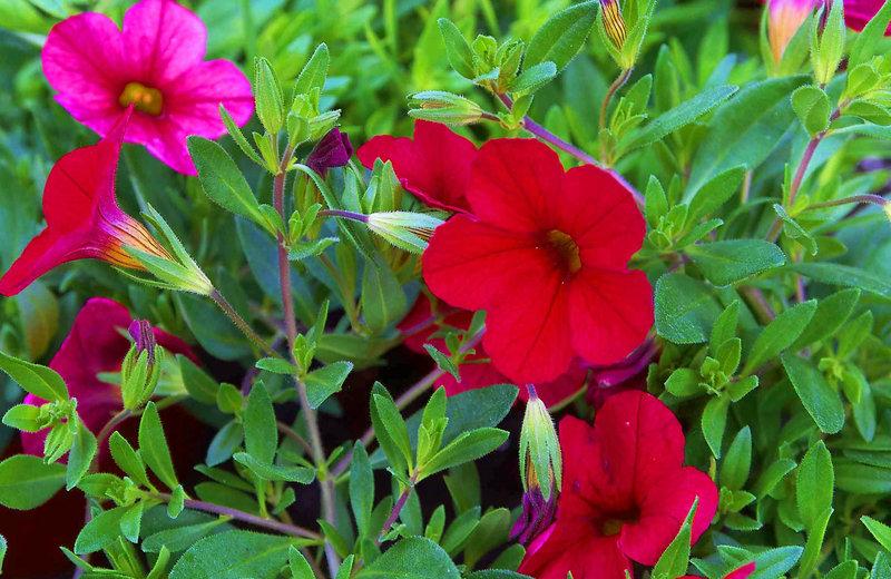 Calibrachoa Million Bells Zauberglockchen Rot Pflanzen Versand