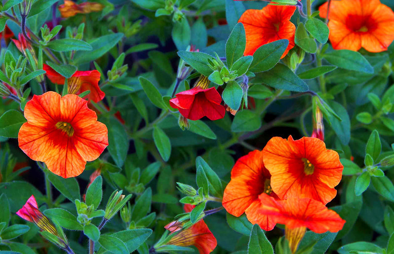 Calibrachoa Million Bells Zauberglockchen Orange Pflanzen