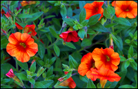 Calibrachoa Million Bells - Zauberglöckchen orange