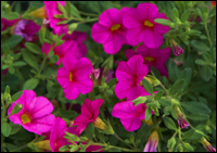 Calibrachoa Million Bells - Zauberglöckchen pink