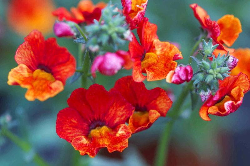 Nemesia Caerulea Sommerveilchen Orange Pflanzen Versand Fur Die