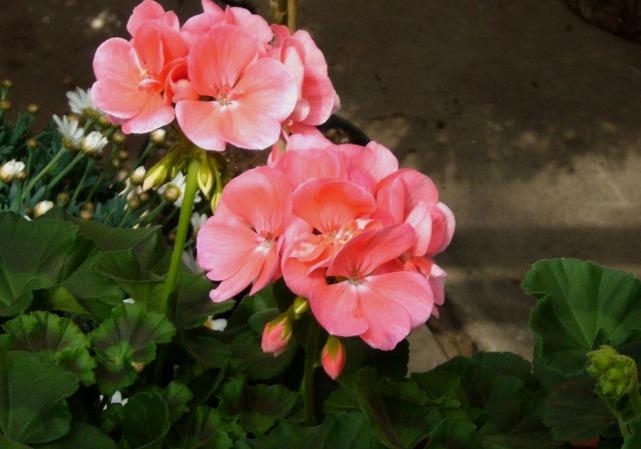 pelargonium zonale stehende geranie rosa pflanzen. Black Bedroom Furniture Sets. Home Design Ideas