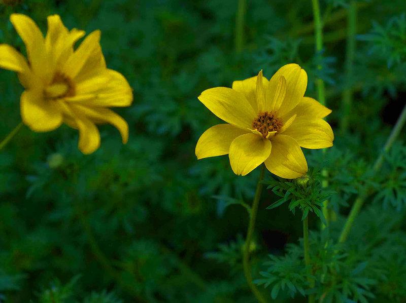 25 Samen Blume Goldmarie  Bidens