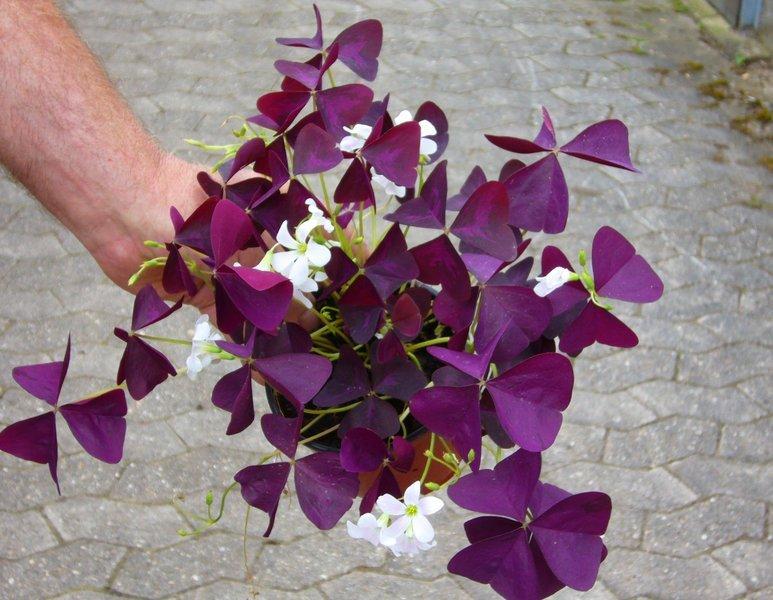 Oxalis Regnellii Atropurpurea Little Shamrock Roter Zierklee