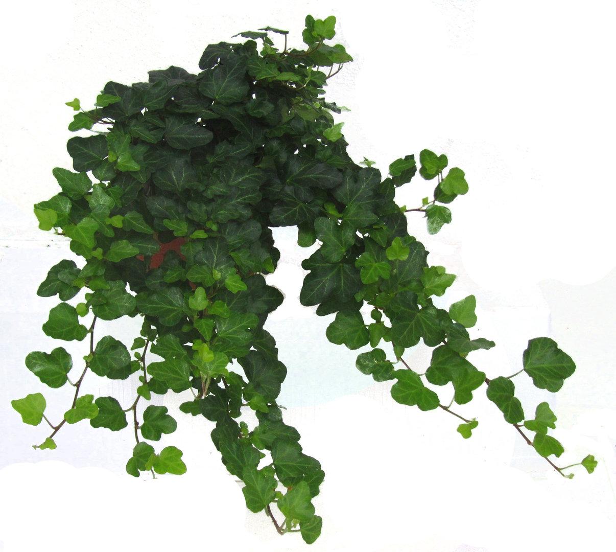hedera helix 39 wonder 39 efeu pflanzen versand f r die besten winterharten balkonpflanzen. Black Bedroom Furniture Sets. Home Design Ideas
