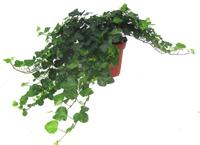 rankende arten pflanzen versand f r die besten winterharten balkonpflanzen k belpflanzen. Black Bedroom Furniture Sets. Home Design Ideas