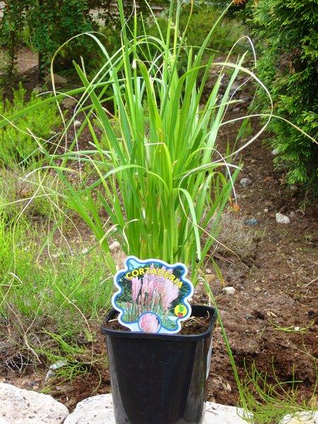 Zimmerpflanzen Gräser cortaderia selleona rosea rosa blühendes pasgras gräser pflanzen versand für die besten