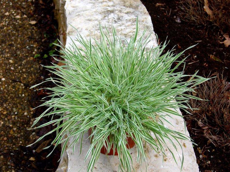 Gräser Pflanzen holcus mollis albovariegatus honiggras gräser pflanzen
