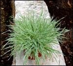 bodendecker immergr n winterhart pflanzen versand f r die besten winterharten balkonpflanzen. Black Bedroom Furniture Sets. Home Design Ideas