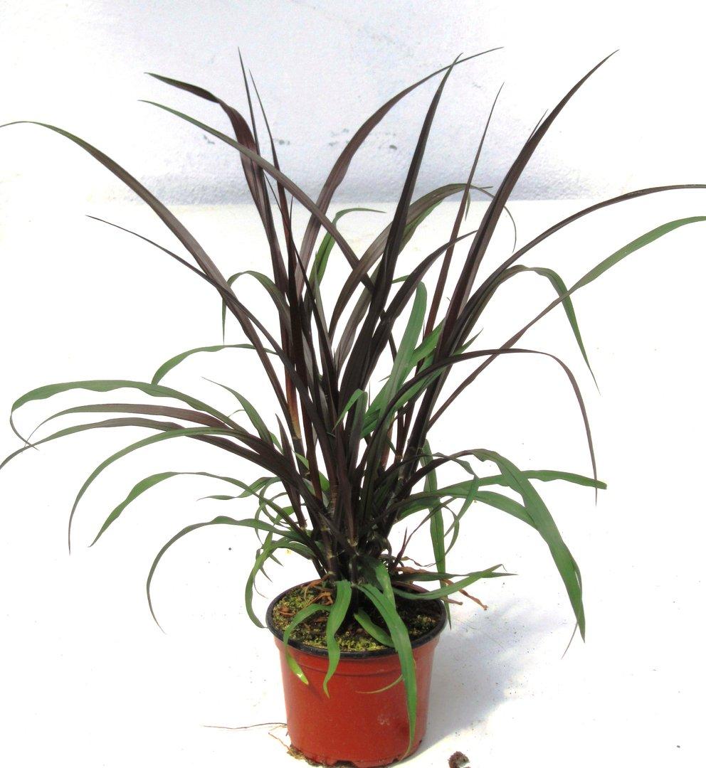 pennisetum setaceum vertigo lampenputzer gras pflanzen versand f r die besten winterharten. Black Bedroom Furniture Sets. Home Design Ideas