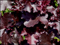 Heuchera cultivare Hybrida 'Black Beauty' - Purpurglöckchen