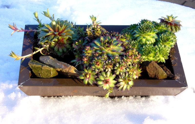 Deko schale metall bepflanzt mit sempervivum pflanzen for Pflanzen bestellen berlin