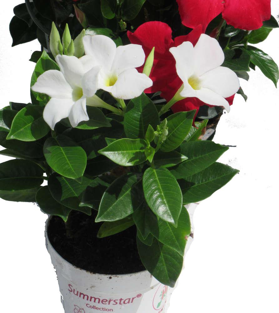 Dipladenia Mandeville Hundsgiftpflanze Weiss Pflanzen Versand