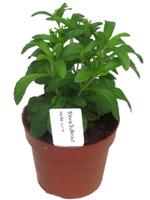 kr uterpflanzen pflanzen versand harro 39 s pflanzenwelt. Black Bedroom Furniture Sets. Home Design Ideas