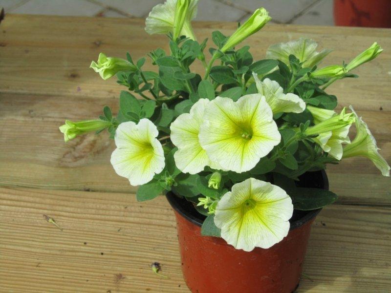 petunia surfinia gelb pflanzen versand f r die besten. Black Bedroom Furniture Sets. Home Design Ideas