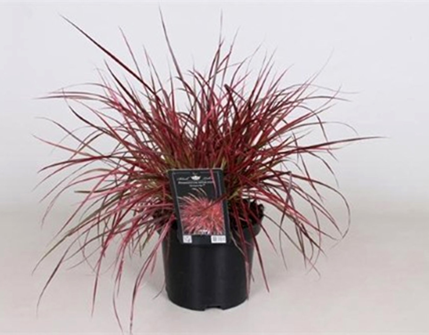 pennisetum setaceum fireworks lampenputzergras pink pflanzen versand harro 39 s pflanzenwelt. Black Bedroom Furniture Sets. Home Design Ideas