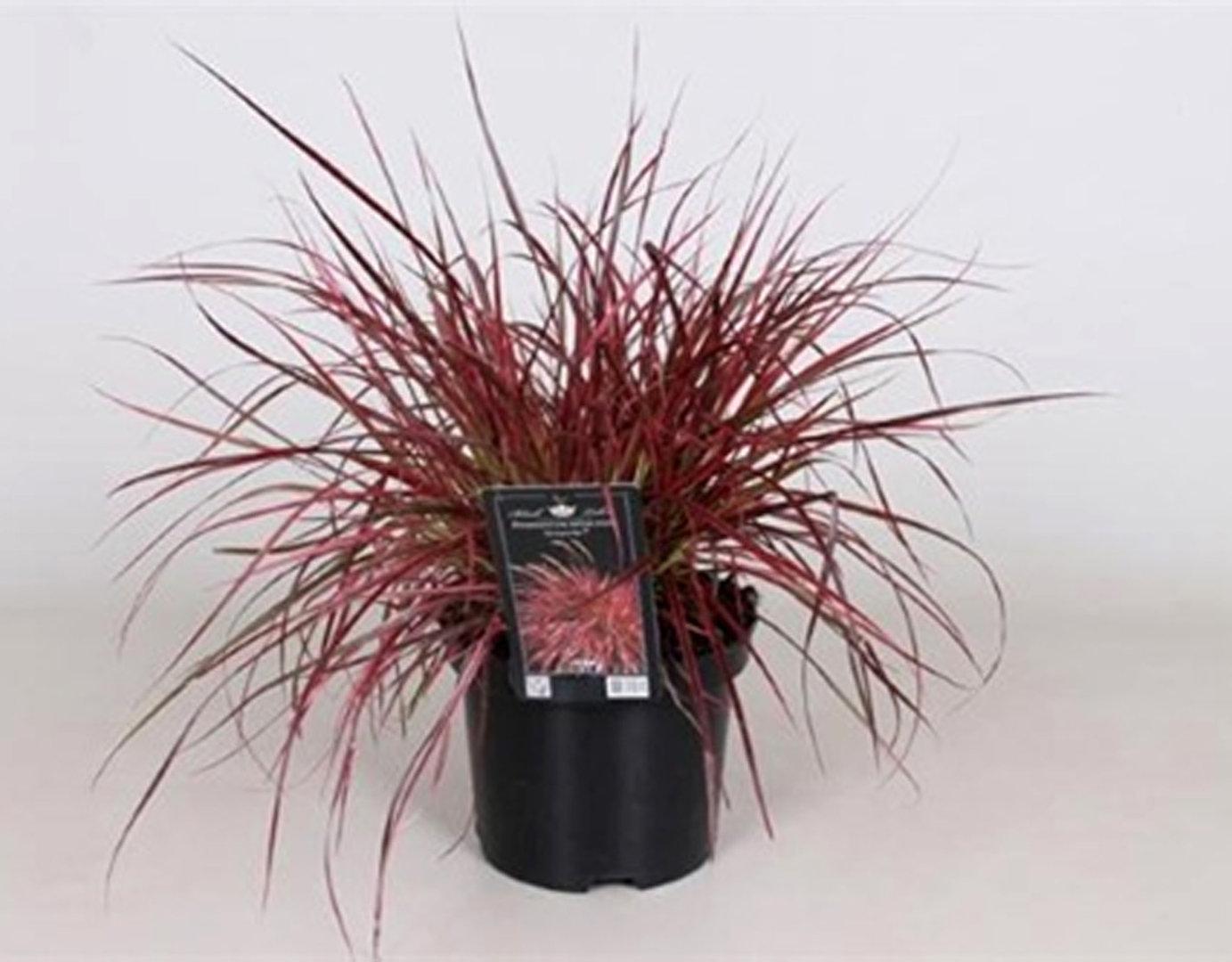 Winterharte Gräser Für Kübel : pennisetum setaceum fireworks lampenputzergras pink pflanzen versand harro 39 s pflanzenwelt ~ Watch28wear.com Haus und Dekorationen