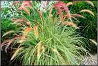 pennisetum setaceum fireworks lampenputzergras pink pflanzen versand harro 39 s pflanzenwelt. Black Bedroom Furniture Sets. Home Design Ideas
