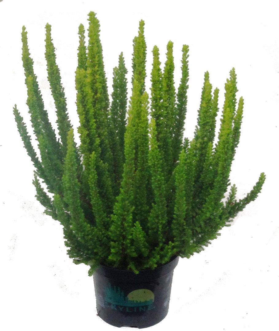 calluna vulgaris skyline besenheide pflanzenversand harro 39 s pflanzenwelt kaufen bestellen online. Black Bedroom Furniture Sets. Home Design Ideas
