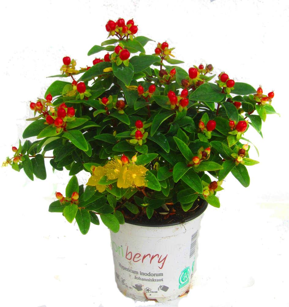 Hypericum Inodorum Johanniskraut Pflanzen Versand Harro s