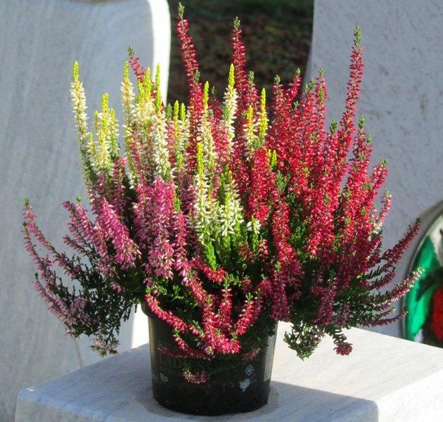 Calluna vulgaris besenheide heidekraut rot wei rosa for Pflanzen bestellen berlin
