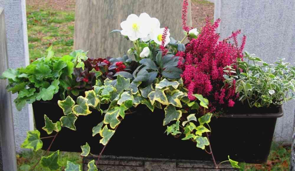 Top Bepflanzter Blumenkasten 60 cm wintergrün-mit Schneerose &CN_52