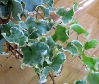 hedera helix  'Curly Variegated' - Efeu mit Locken