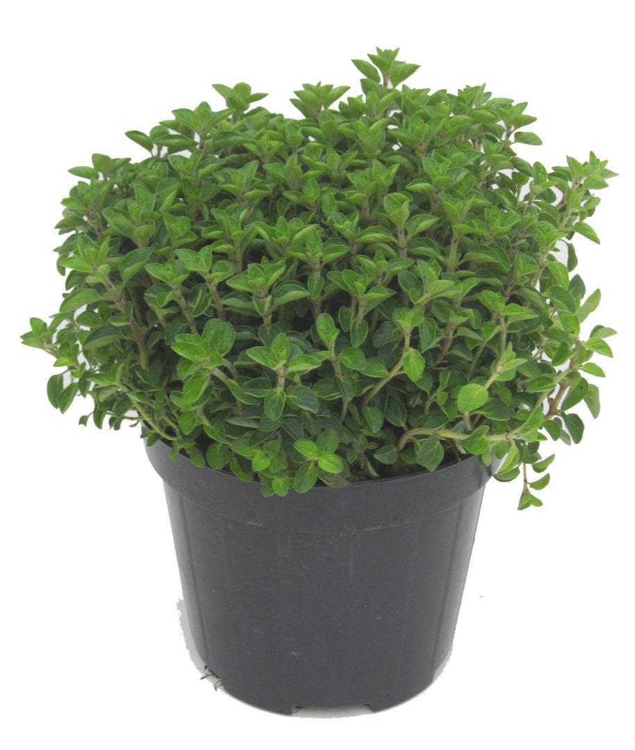 oregano gartenkr uter kr uterpflanzen online kaufen bestellen. Black Bedroom Furniture Sets. Home Design Ideas