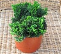 klein bleibende koniferen pflanzen versand f r die besten winterharten balkonpflanzen. Black Bedroom Furniture Sets. Home Design Ideas