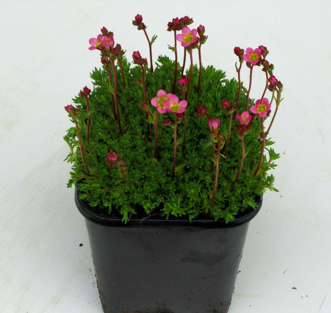saxifraga moossteinbrech elfenbeinsteinbrech pflanzen. Black Bedroom Furniture Sets. Home Design Ideas