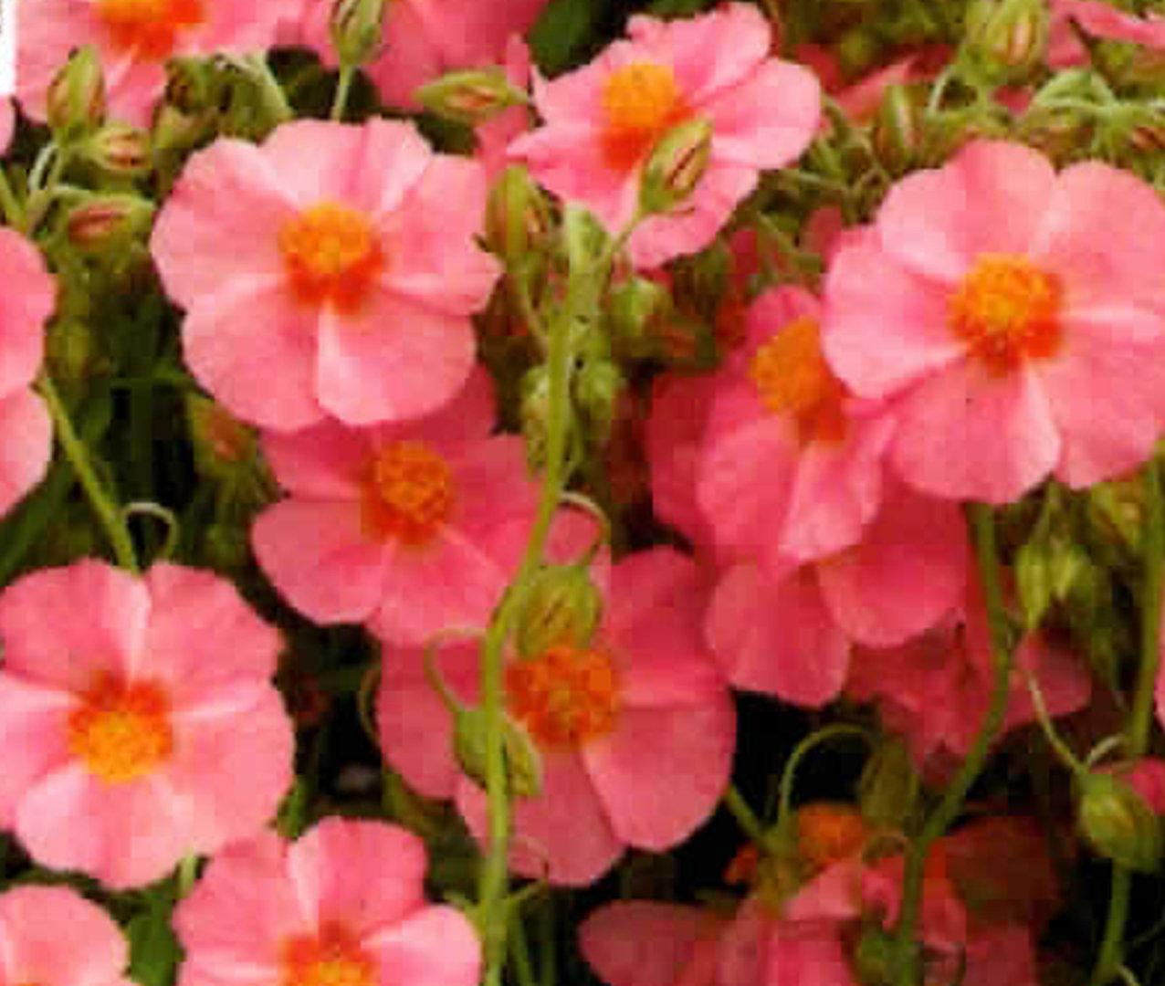 helianthemum rosa sonnenr schen pflanzenversand alpine pflanzen harro 39 s pflanzenwelt kaufen. Black Bedroom Furniture Sets. Home Design Ideas