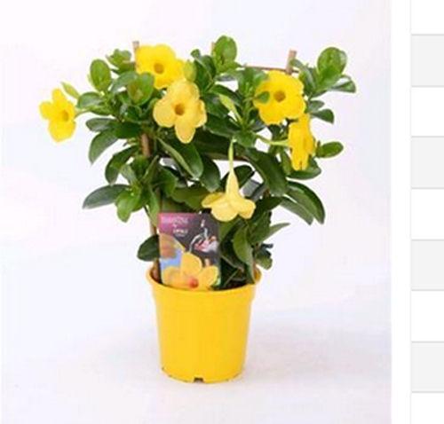dipladenia mandeville diamantina opale citrine pflanzen versand harro 39 s pflanzenwelt kaufen. Black Bedroom Furniture Sets. Home Design Ideas