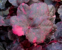 Heuchera cultivare Hybrida 'Midnight Rose' - Purpurglöckchen