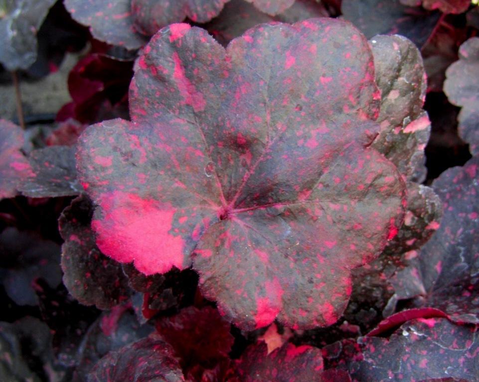 heuchera cultivare hybrida 39 midnight rose 39 purpurgl ckchen pflanzen versand f r die besten. Black Bedroom Furniture Sets. Home Design Ideas