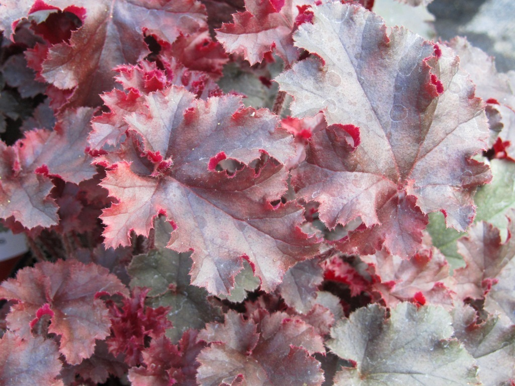 heuchera cultivare hybrida 39 melting fire 39 purpurgl ckchen pflanzen versand f r die besten. Black Bedroom Furniture Sets. Home Design Ideas